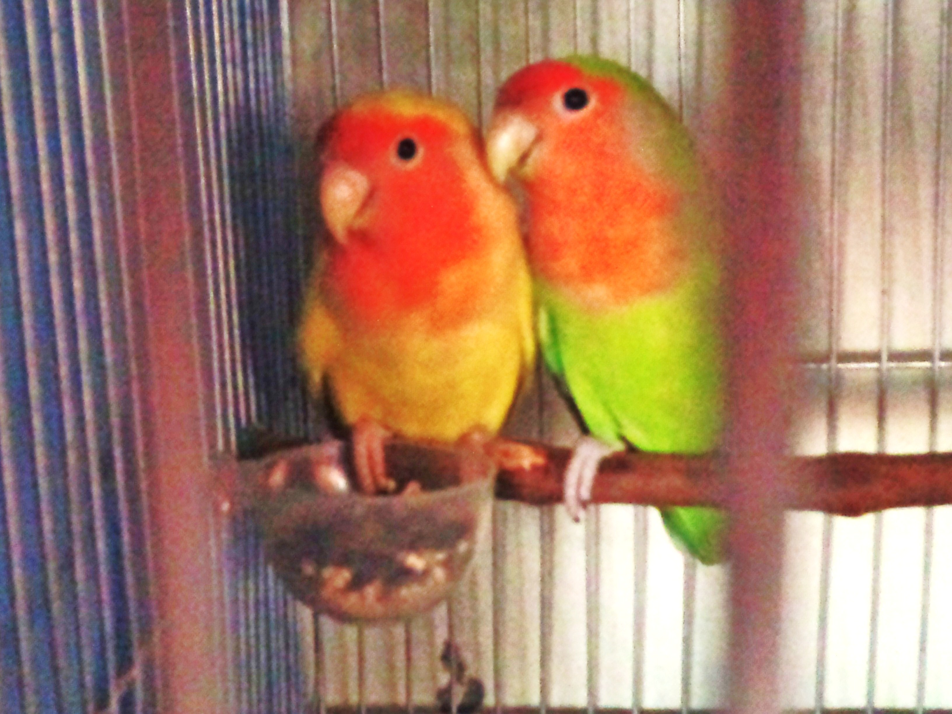 African lovebirds with name - photo#19