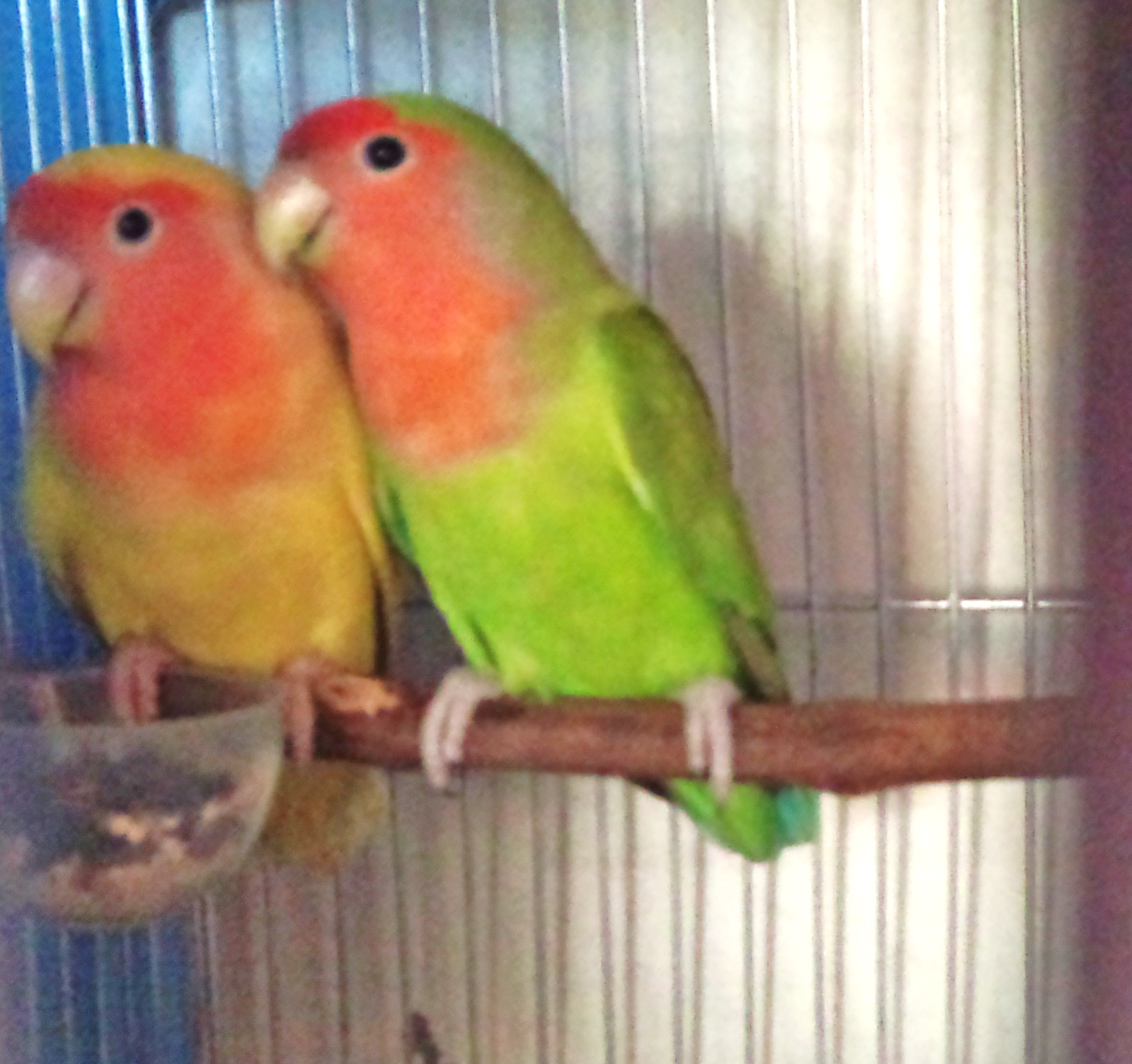 African lovebirds with name - photo#10