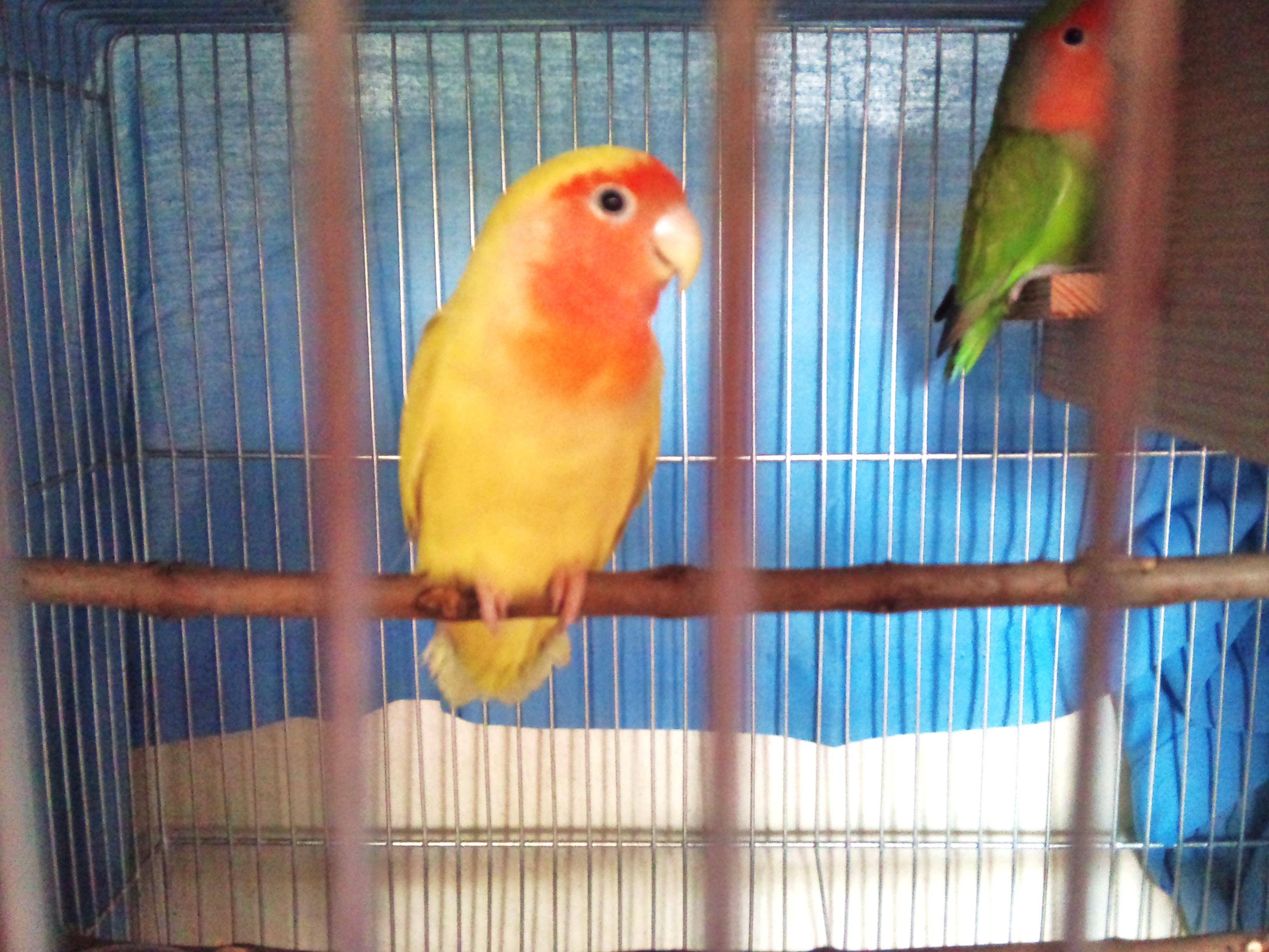 African lovebirds with name - photo#11