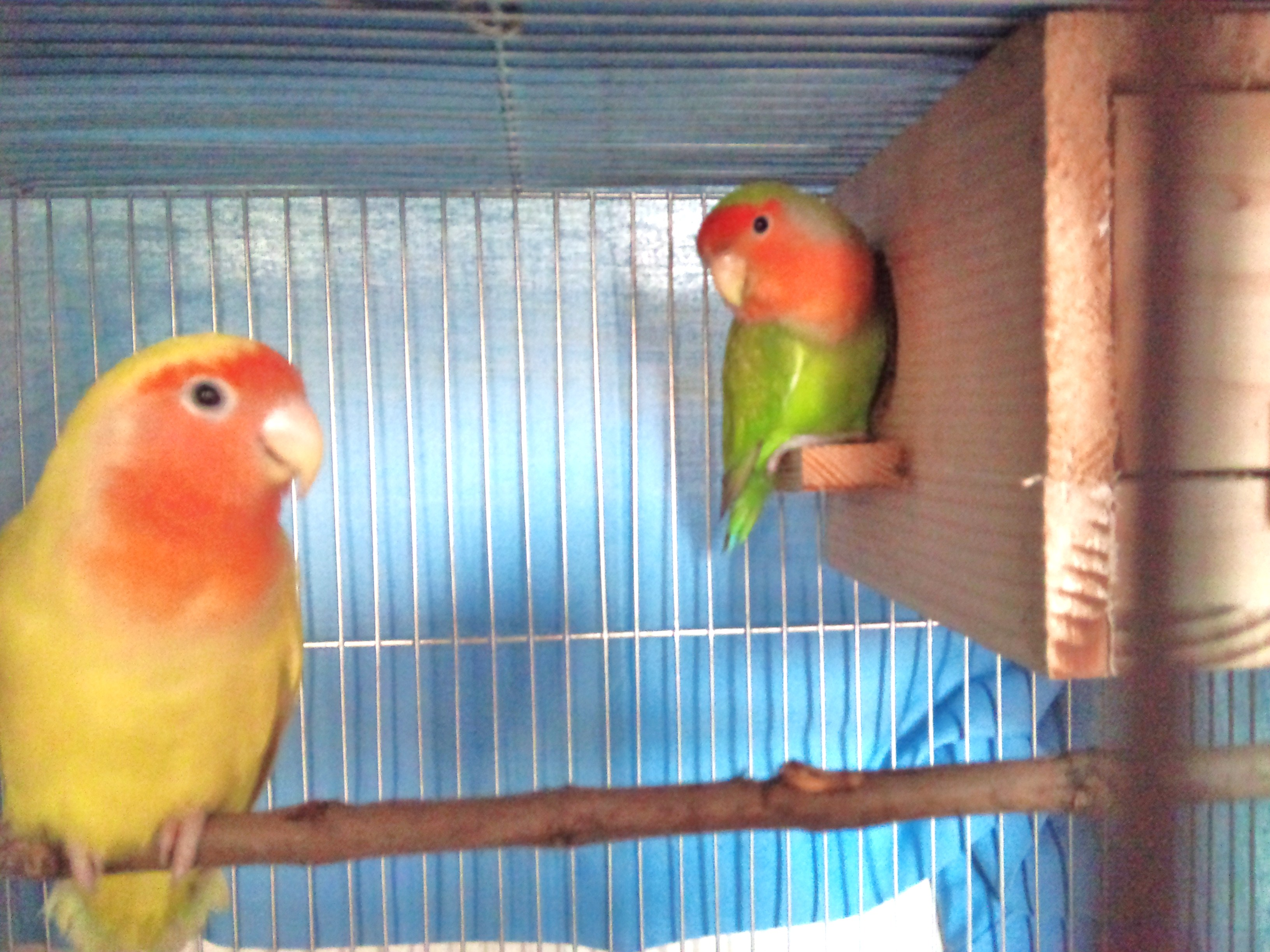 African lovebirds with name - photo#4