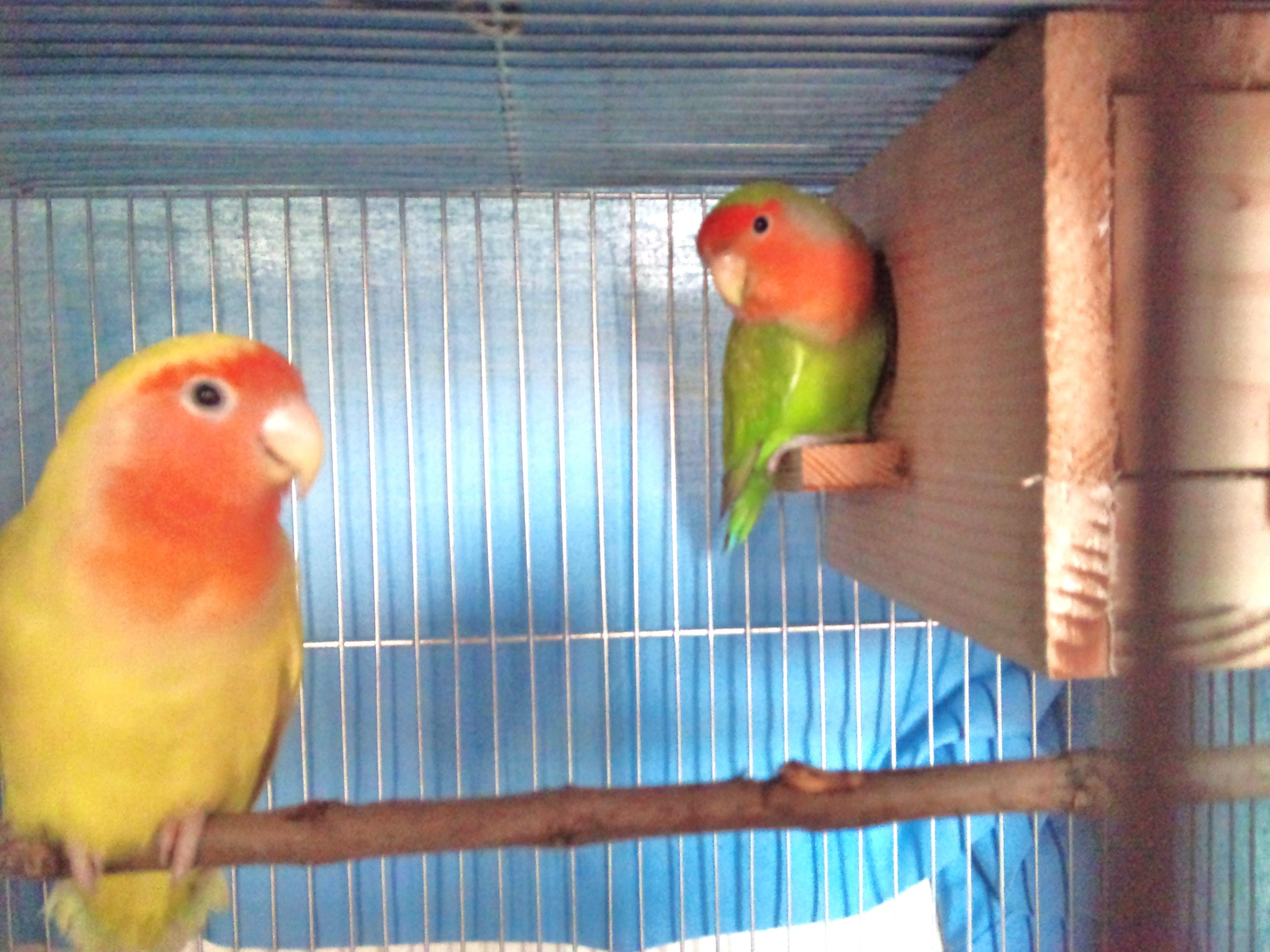 african love birds picture wallpaper sportstle