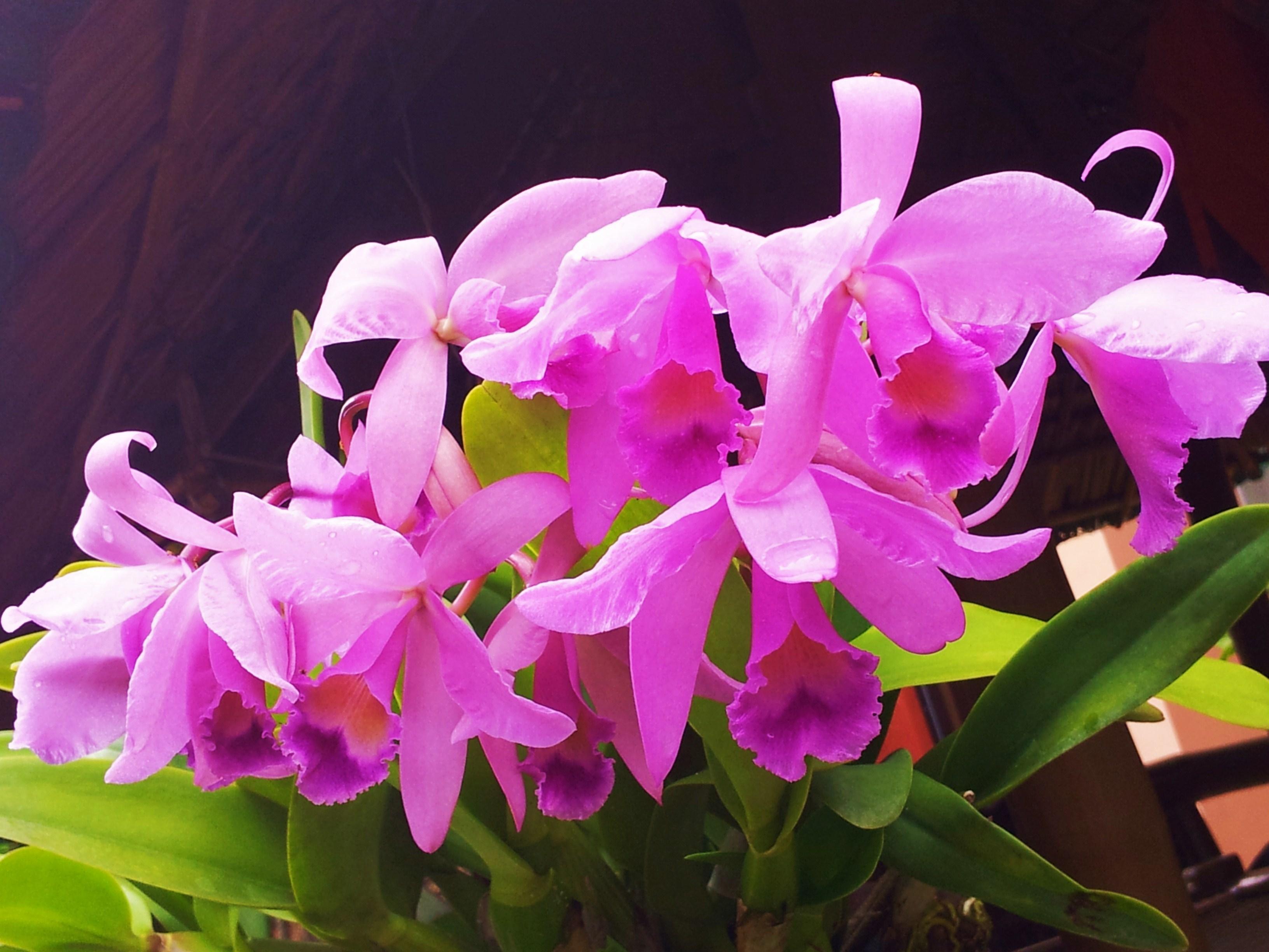Cattleya orchid my sweetpainteddreams for Orchidea cattleya