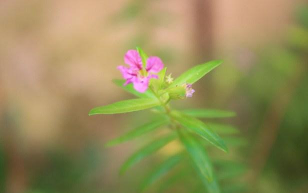 wildflower in my garden
