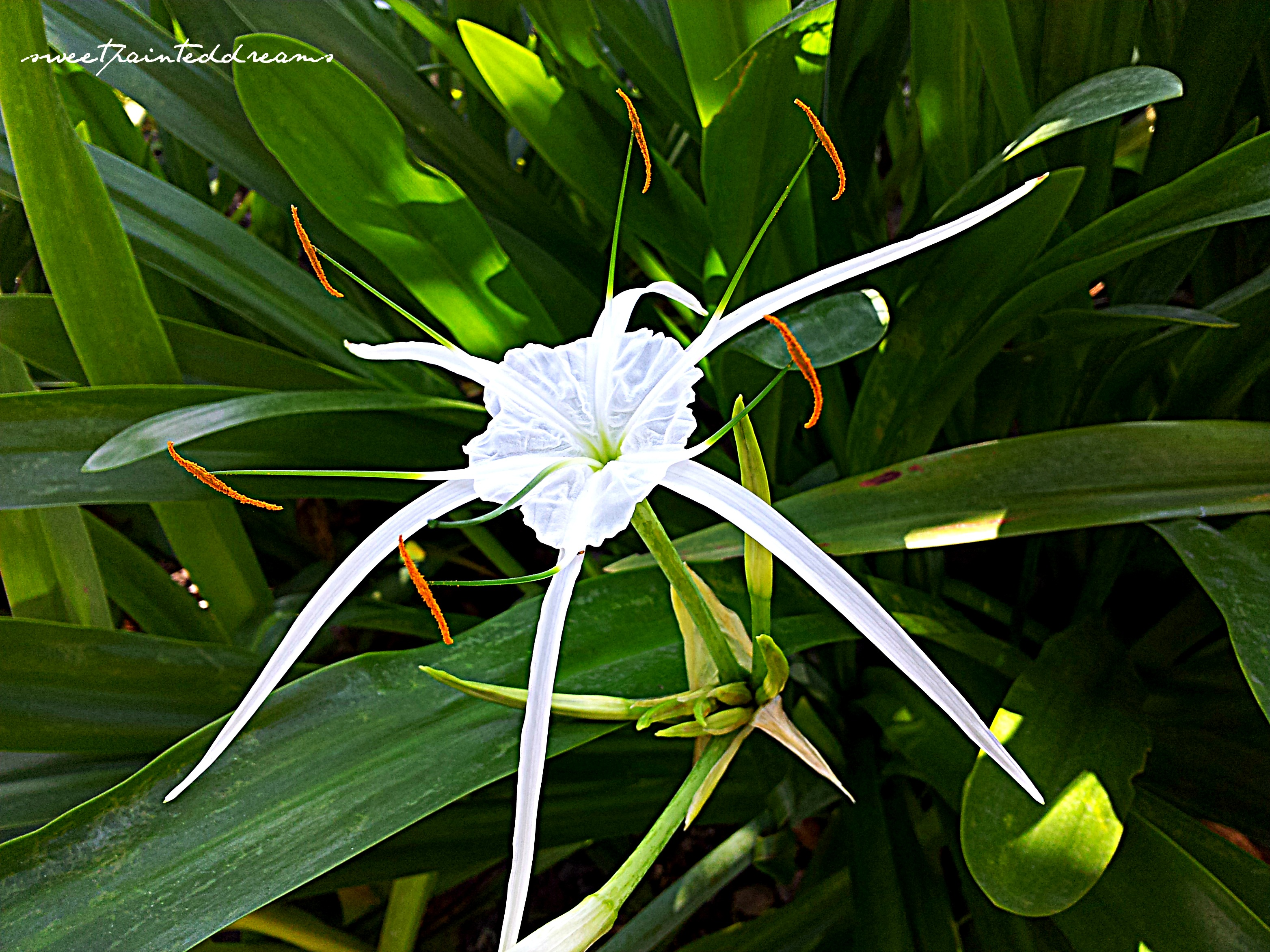 Photos of the day spider lily my sweetpainteddreams spider lily izmirmasajfo