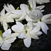 sweet jasmine flowers