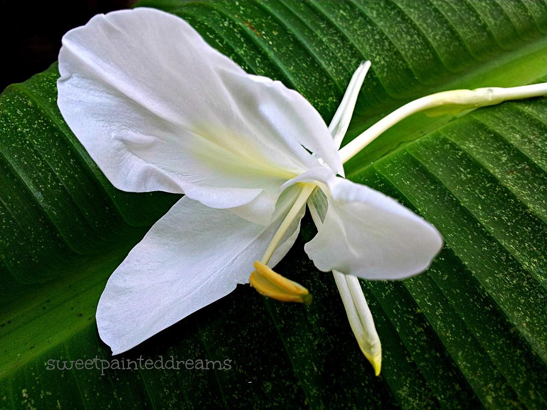 White flower my sweetpainteddreams camia mightylinksfo